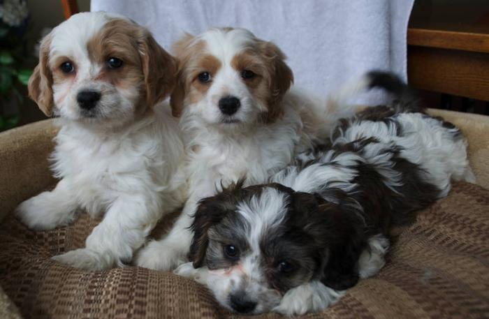 Cavachon Calalier King Charles X Bichon M & F Non shed Hypoal for