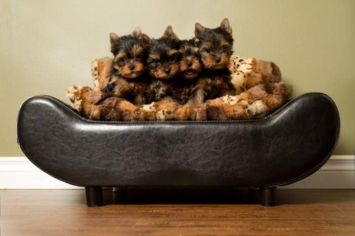 Champion sired yorkshire terrier puppies for sale!
