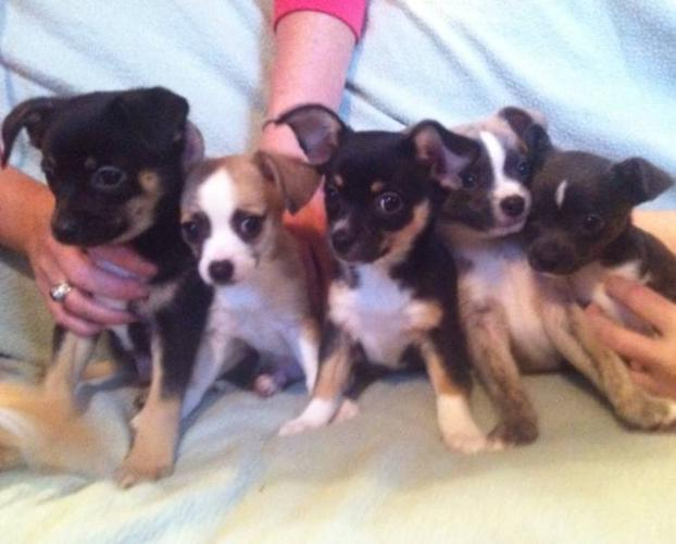 Chihuahua Moth Eared Papilion Puppies