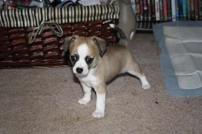 chihuahua moth eared papion puppies for sale