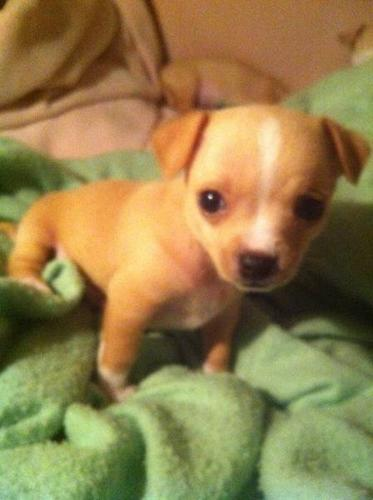 CHIHUAHUA PUPPIES FOR SALE for sale in West Kelowna, British