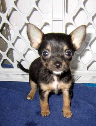 Chihuahua yorkshire terrier pups