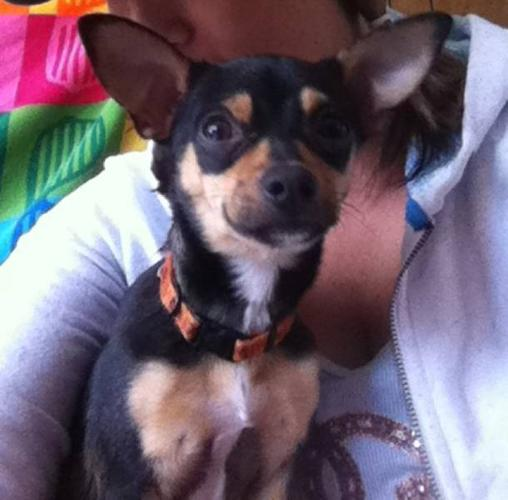 Chihuahua/rat terrier for sale for sale in Moose Jaw, Saskatchewan