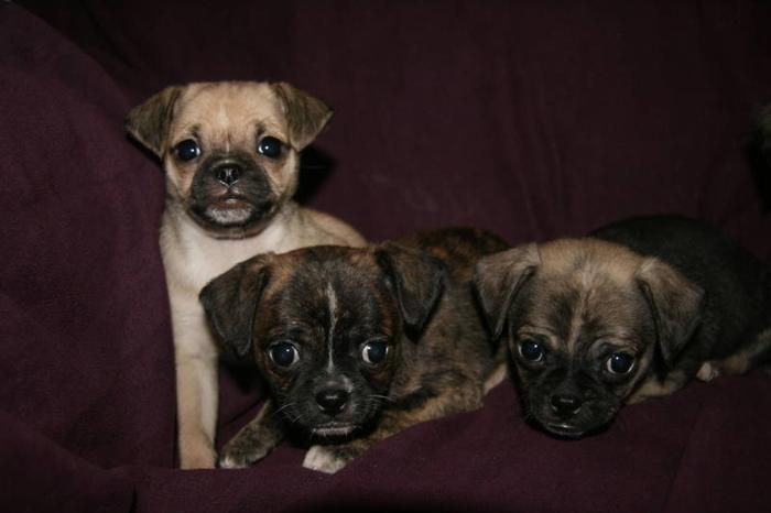 Chugs (Pug X Chihuahua) Puppies for sale in Maple Ridge
