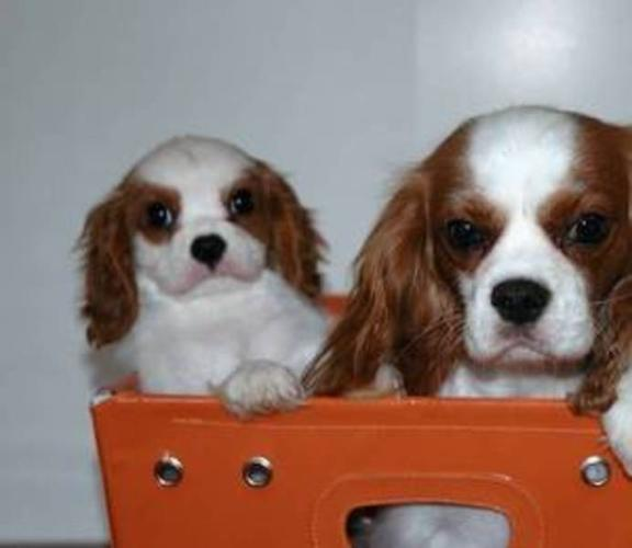 CKC Female Cavalier King Charles Puppies -Only 1 left!