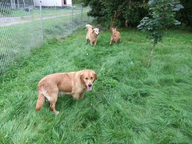 CKC Golden Retriever puppies for sale in Clifton Royal ...
