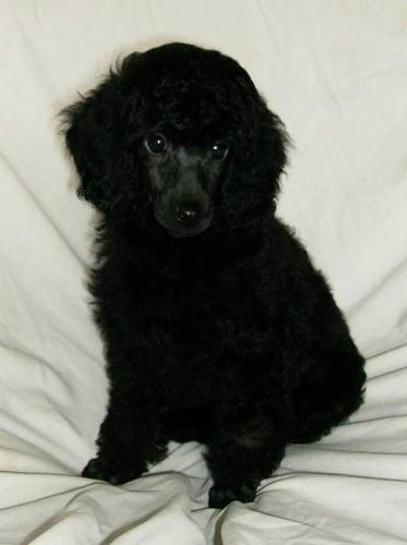 CKC Reg'd Black & Brindle Phantom Male Miniature Poodle Puppy