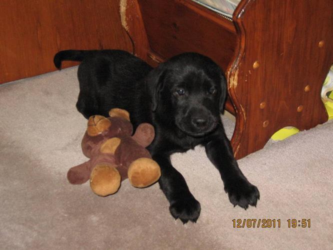 CKC Registered Black Labrador Retriever Pups