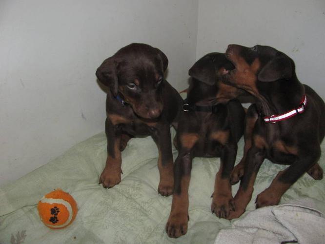 CKC Registered Doberman puppies