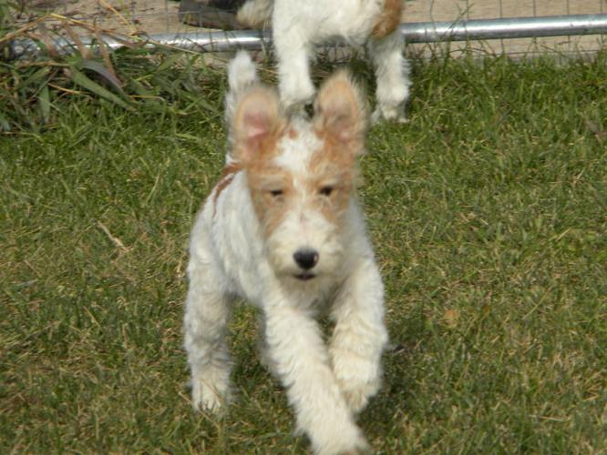 CKC registered Fox Terrier Puppies
