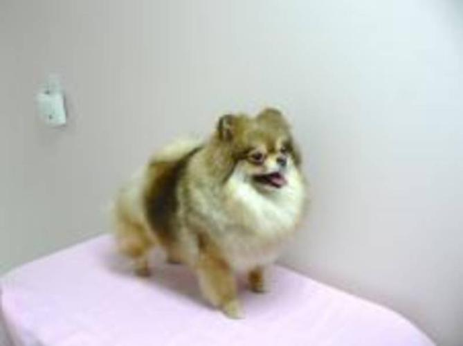 CKC Registered Pomeranian Adults