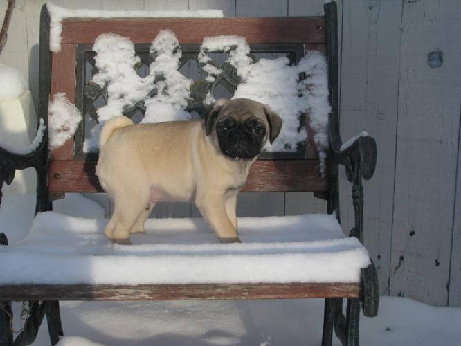 CKC Registered Pug Puppy for sale in Grande Prairie, Alberta