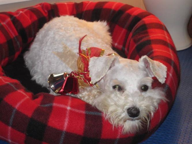 CKC Registered Spayed Miniature Schnauzer Dog For Sale