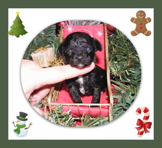 Ckc Registered Toy poodles (teacup sizes)