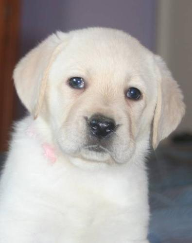 CKC Registered Yellow Labrador Retrievers