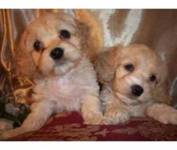 CockAPoo for sale in Kettleby, Ontario - Nice pets in Canada