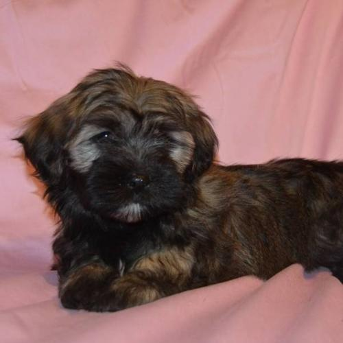 havanese and shih tzu cute and cuddly havanese shih tzu puppies for sale in 9588