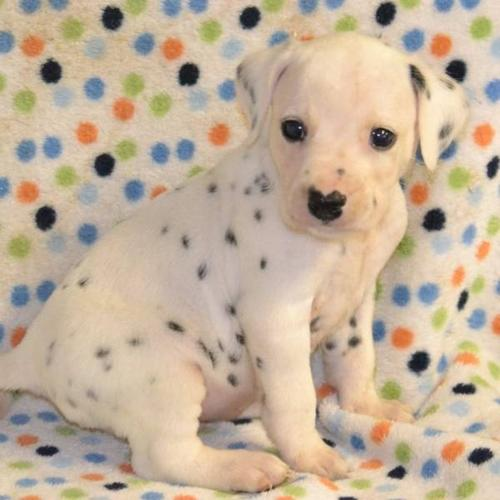 Dalmatian Puppies! Ready to go this week!