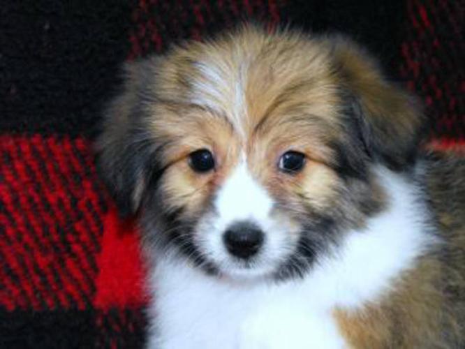 Darling Sheltie x Bichon Puppies
