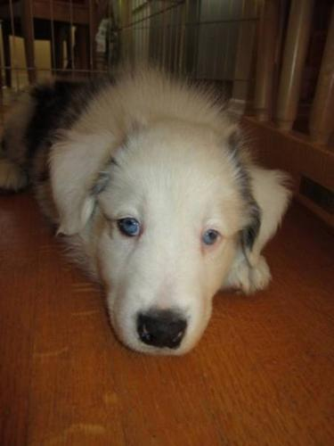 Deaf male collie pup needs experienced home.