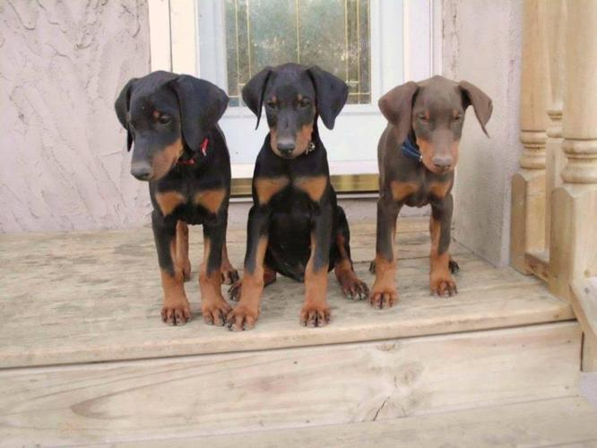 Doberman Pinscher Puppies For Sale In Balmoral Manitoba Nice