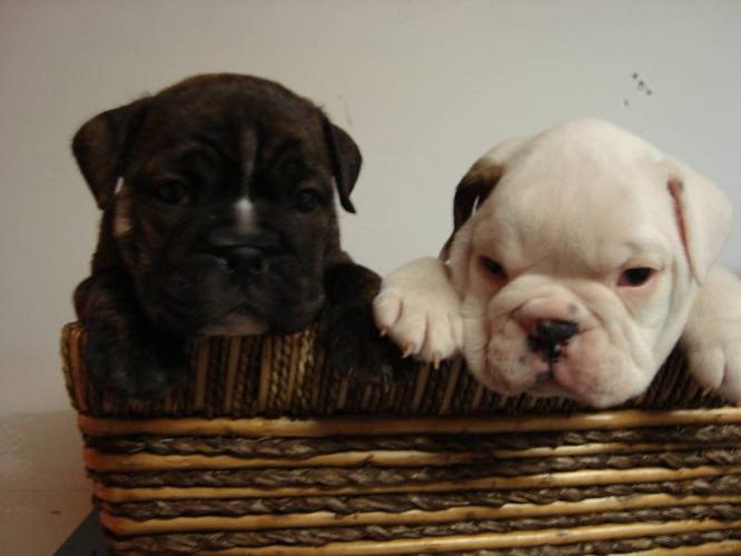 English Bulldog X puppies