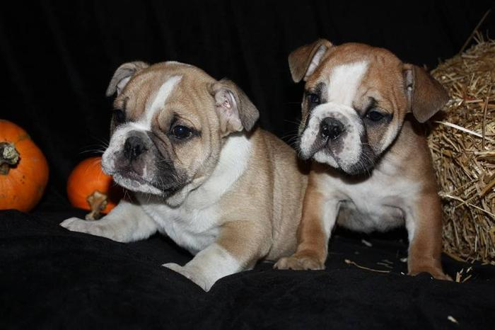 ENGLISH BULLDOGS 2 FEMALES 2 MALES .. for sale in Amherst ...