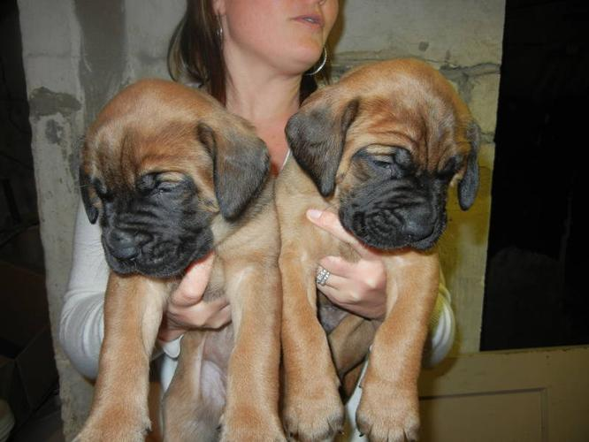 English Mastiff puppies for sale