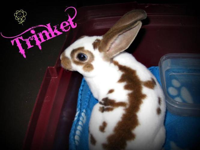 English spot bunnie, cage & accessories for sale to good home.