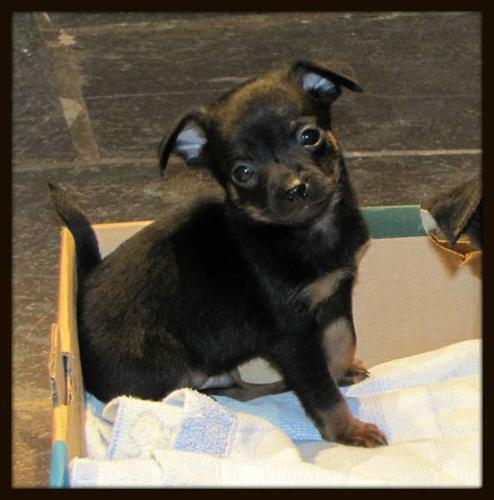 English, Toy Terrier, Puppies,puppy for sale, small dog for sale