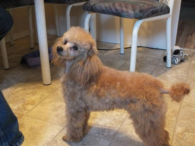 Excellent home wanted for purebred Minature Poodle
