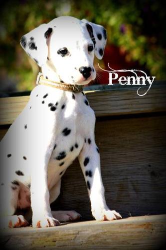 Female Dalmatian Puppy - Penny