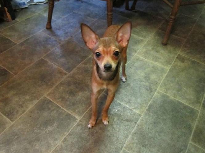 female-deer-chihuahua_3488075.jpg