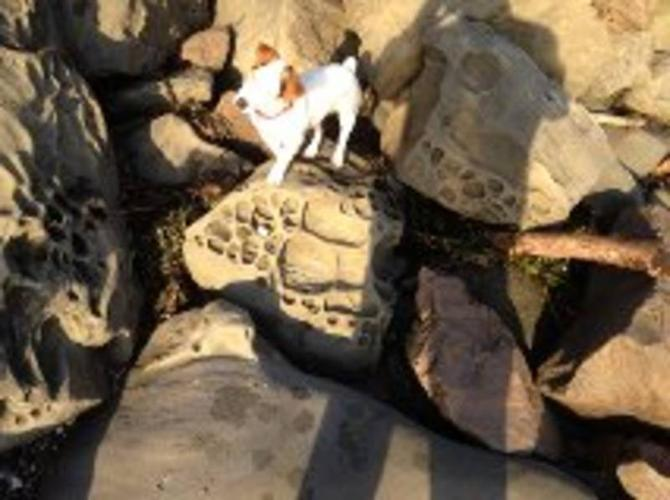 Female jack russell terrier for sale
