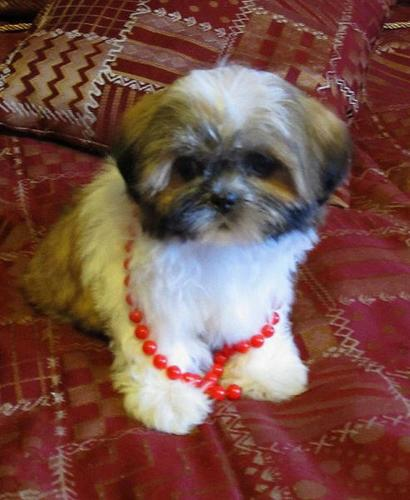 Female Shih Tzu Puppy!!!