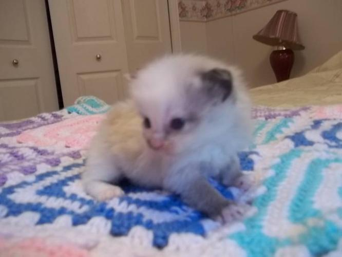 For sale female Ragdoll kitten for sale in Port Hood, Nova