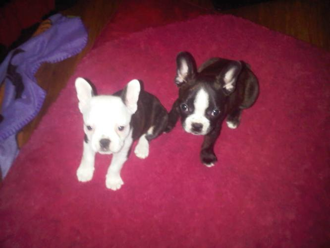 French Bulldog cross Boston Terrier Puppies for Sale! GIRLS &BOY