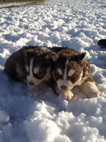 Full breed Siberian Husky pups/ Males