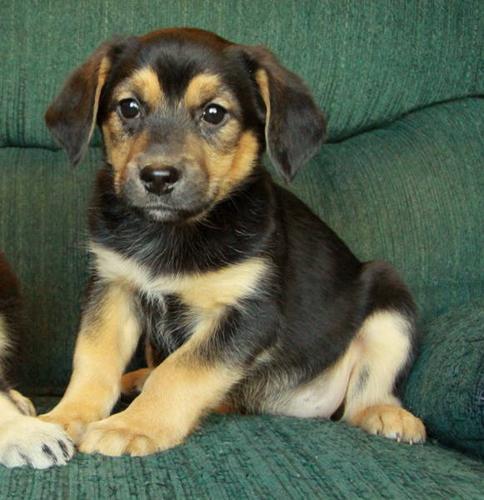 German Shepherd X Puppies - 1 Male and 1 Female Left!