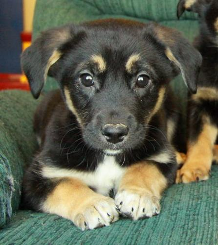 German Shepherd X Puppies - Only 1 Male Left!