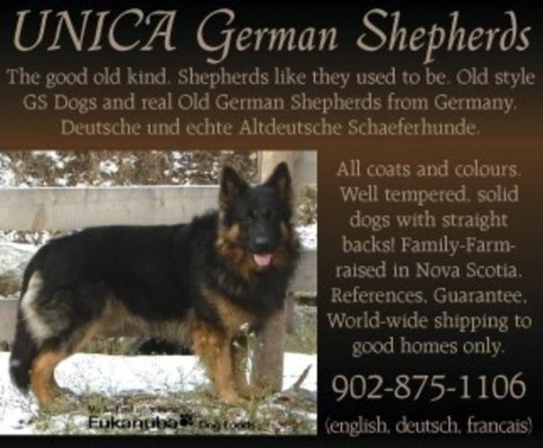 German Shepherds,THE good old kind w.straight backs+gd.