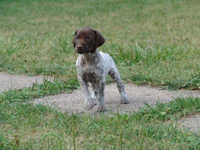 German Shorthaired Pointer Puppy For Sale For Sale In Terra Cotta