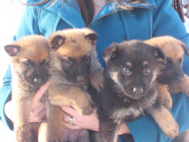 German/Dutch Shepherd Puppies!!!!