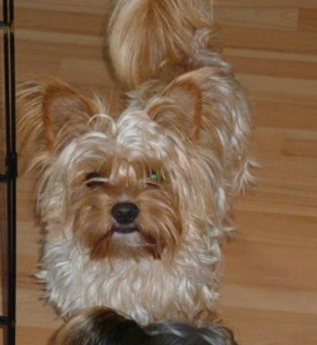 Golden Biewer Yorkshire Yorkie