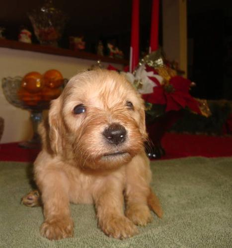 Goldendoodle puppies----Christmas puppies