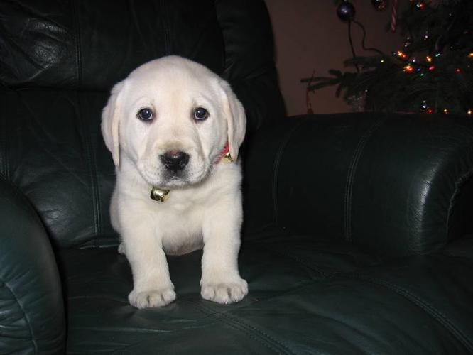 Gorgeous English White Labrador Retriever Puppy