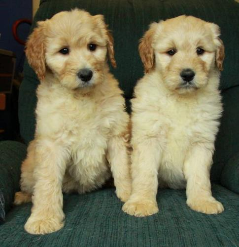 Gorgeous GOLDENDOODLE Puppies! 1 Male and 4 Females