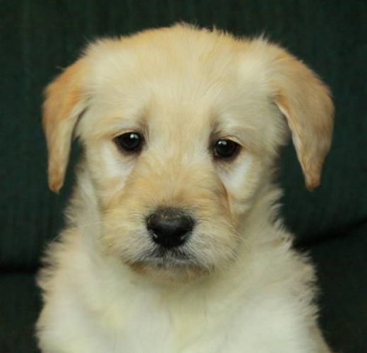 Gorgeous GOLDENDOODLE Puppies - Only 1 Male Left!
