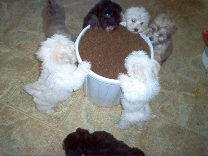GORGEOUS LOCAL CKC REGISTERED HAVANESE PUPPIES for sale in