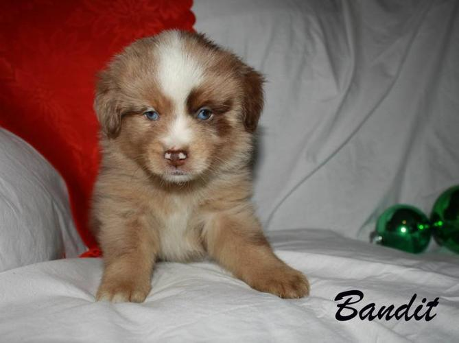Gorgeous Miniature Australian Shepherd Puppies! for sale in